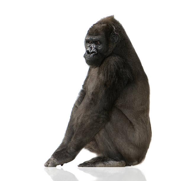 Young silverback gorilla picture id93212504?b=1&k=6&m=93212504&s=612x612&w=0&h=g0rzr s9nzlzgh8xpnbly4sztfycggjfx4h94323ddk=