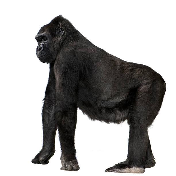 young gorila lomo plateado - gorila fotografías e imágenes de stock