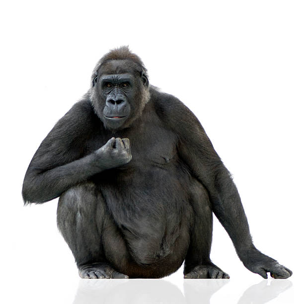 Young Silverback Gorilla sitting with a white background stock photo