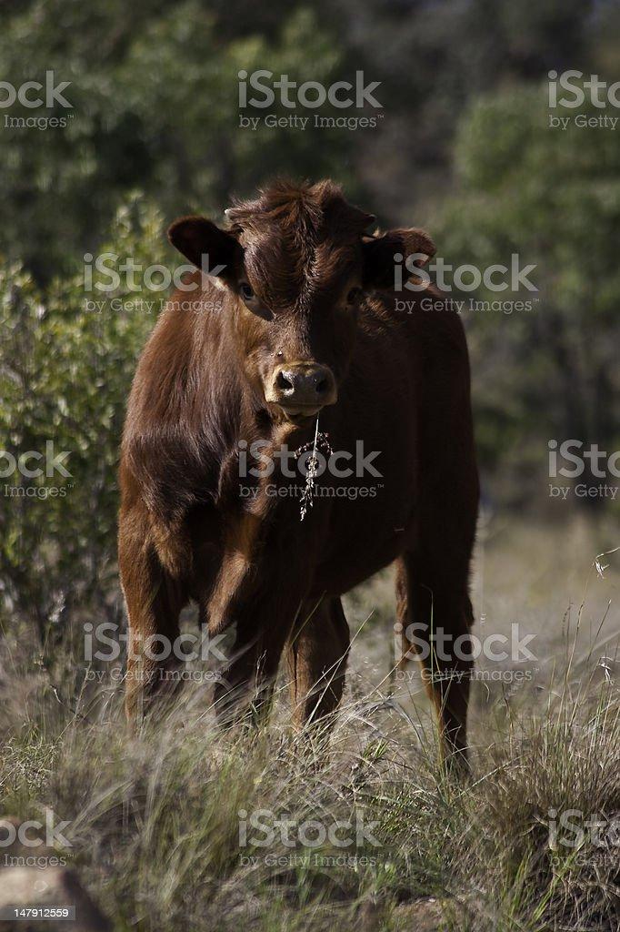 young simmentaller calf royalty-free stock photo