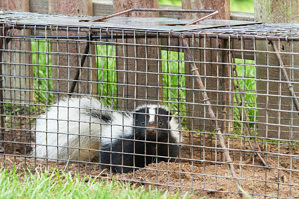 young skunk in live trap - skunk stock photos and pictures