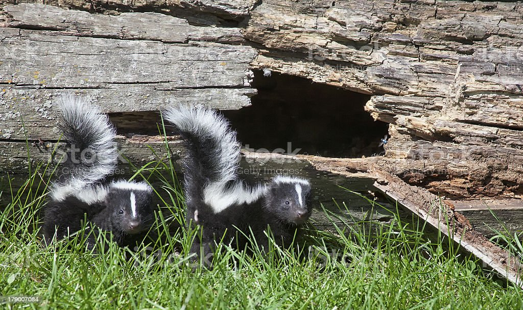 Young skunk pair stock photo