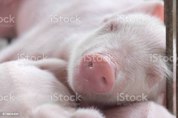 Young sleeping pig piglet after sucking in shed sleep well after picture id673604434?b=1&k=6&m=673604434&s=612x612&h=jtn68er5pn1oh kdiogk2pglwntnhzi7iw4e458hqc8=