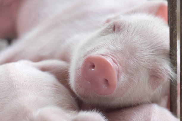 young sleeping pig, Piglet after sucking in shed. Sleep well after eating. stock photo