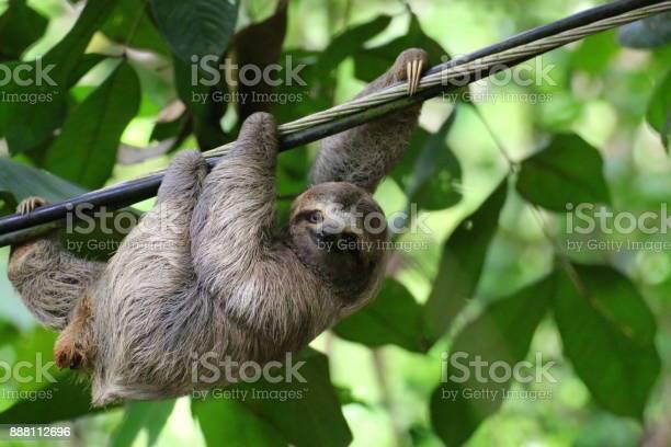 Young sloth hanging on a cable costa rica picture id888112696?b=1&k=6&m=888112696&s=612x612&h=9wjtusnjb8jpnvyp8tlr hgejvwo1fpy zikkxntsa4=