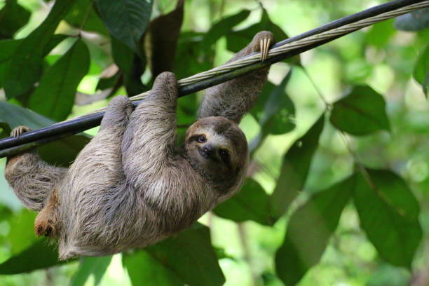 young sloth hanging on a cable, costa rica - sloth stock pictures, royalty-free photos & images