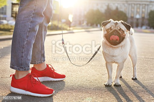 Funny puppy of pug sitting on floor near woman owner's feet on concrete walkway at park. Hipster female walking young pure breed pedigree dog on a leash, sunset light. Background, copy space, close up