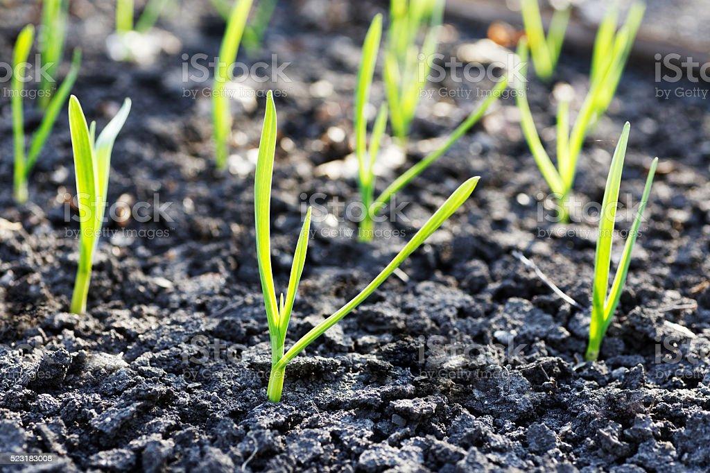 Junge kleine grüne sprouts – Foto