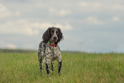Young proud english springer spaniel hound is standing in the grass in a green meadow