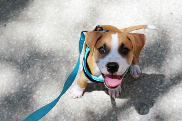 A young Smiling Pit Bull Puppy stock photo