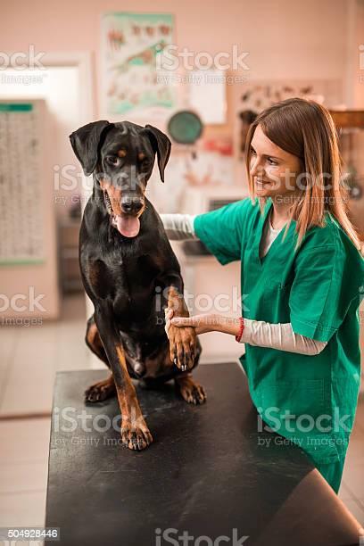 Young smiling vet examining a doberman dog at vets office picture id504928446?b=1&k=6&m=504928446&s=612x612&h=bmqcp avgharp6pbqgcxchnerked0wcfzu2hd yvwua=