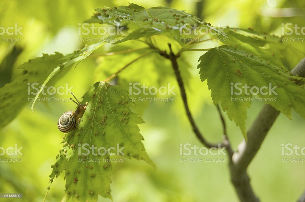 young snail on a leaf royalty-free stock photo