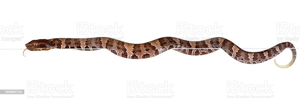Young snake  American Copperhead  gets out of the cage stock photo