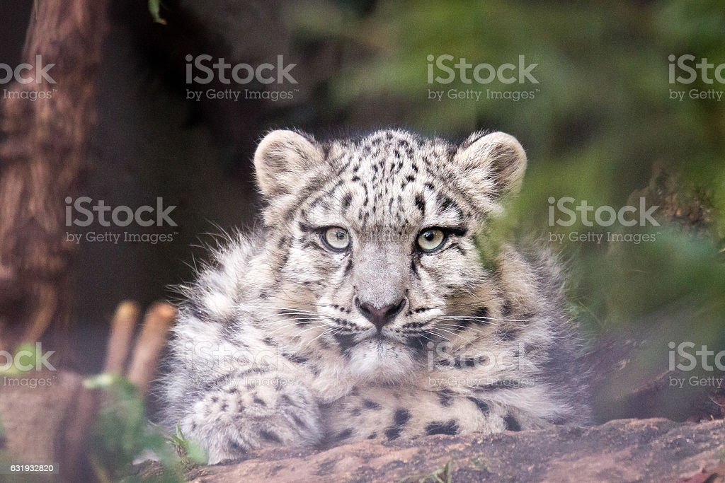 young snow leopard stock photo