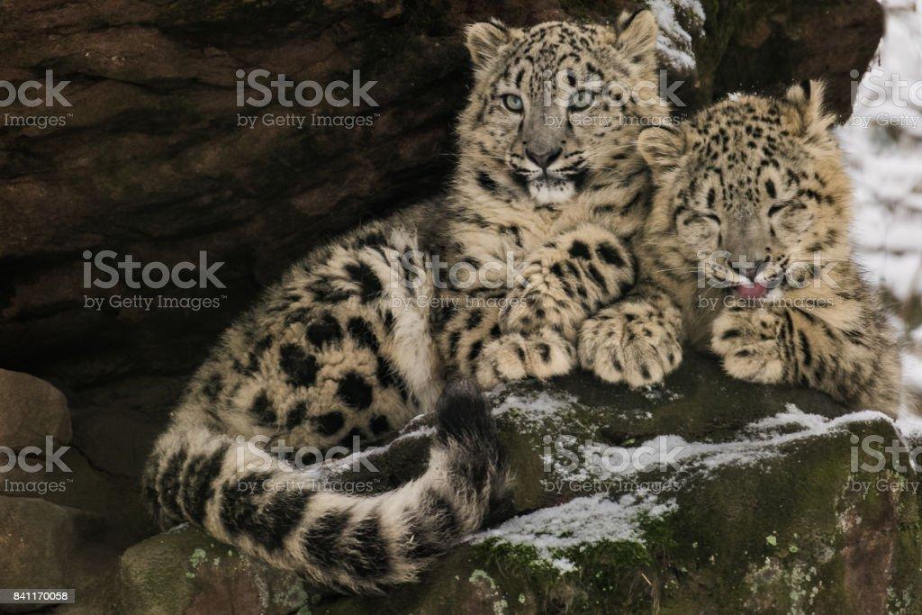 Fotografía de Leopardos De Las Nieves Joven Sentado Sobre Una Roca ...