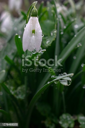 Young snowdrop with dew drops. Spring elegant snowdrops in bokeh