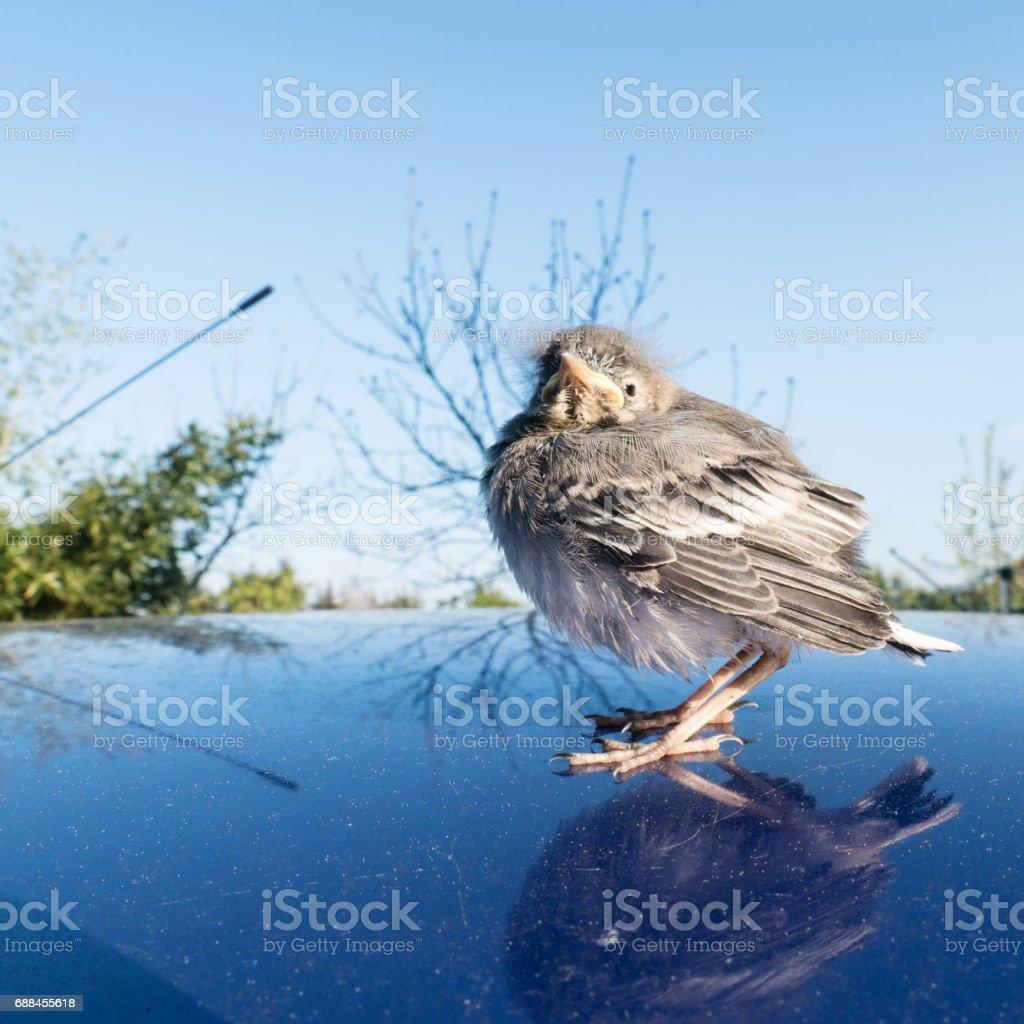 young songbird stock photo