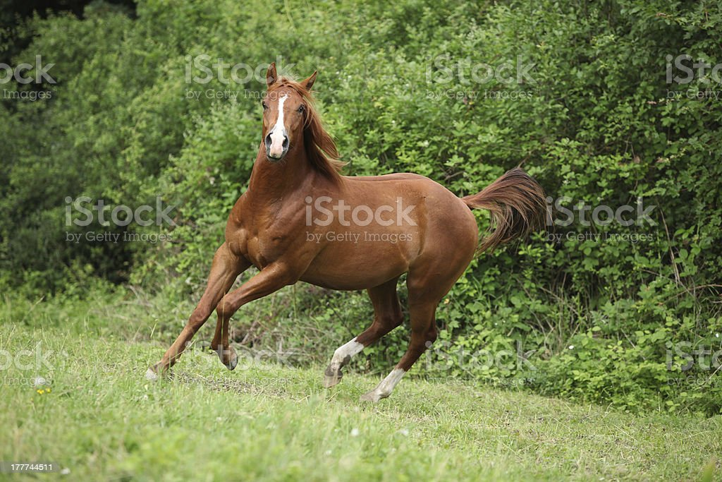 Young sorrel solid paint horse running stock photo