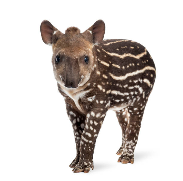 Young South american tapir, isolated on white, 41 days old stock photo