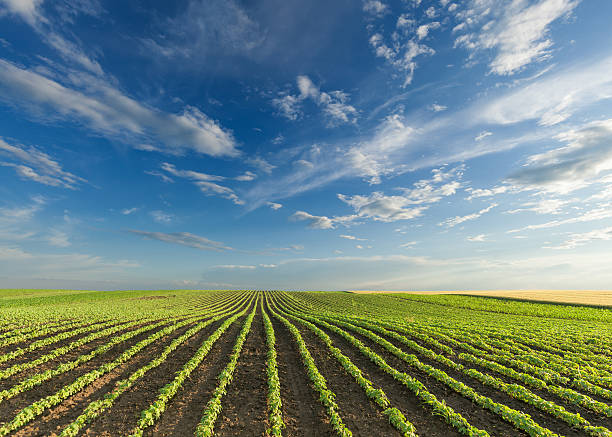 Young soybean crops at idyllic sunny day stock photo