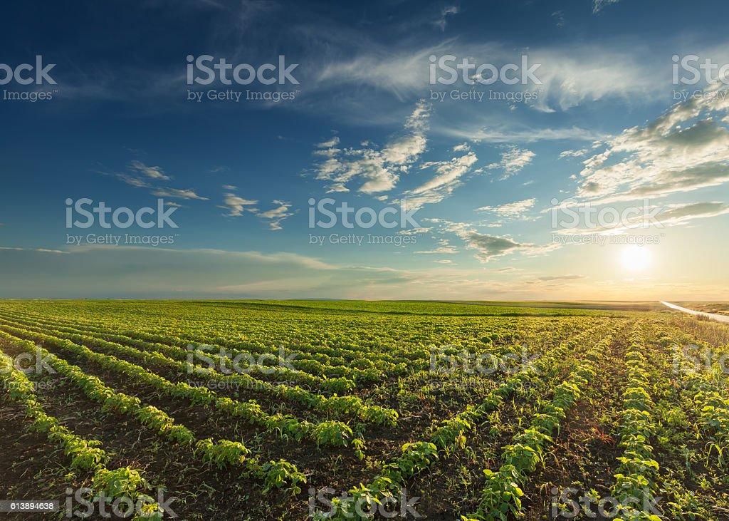 Young soybean crops at idyllic sunset Rows of young green soybeans against the setting sun with beautiful clouds. Soy bean fields in early summer season at sunset. Agricultural Field Stock Photo