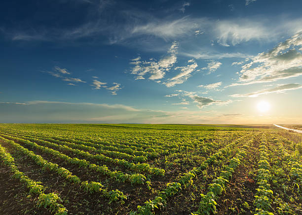 young soybean crops at idyllic sunset - gewas stockfoto's en -beelden