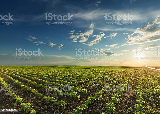 Young Soybean Crops At Idyllic Sunset Stock Photo - Download Image Now