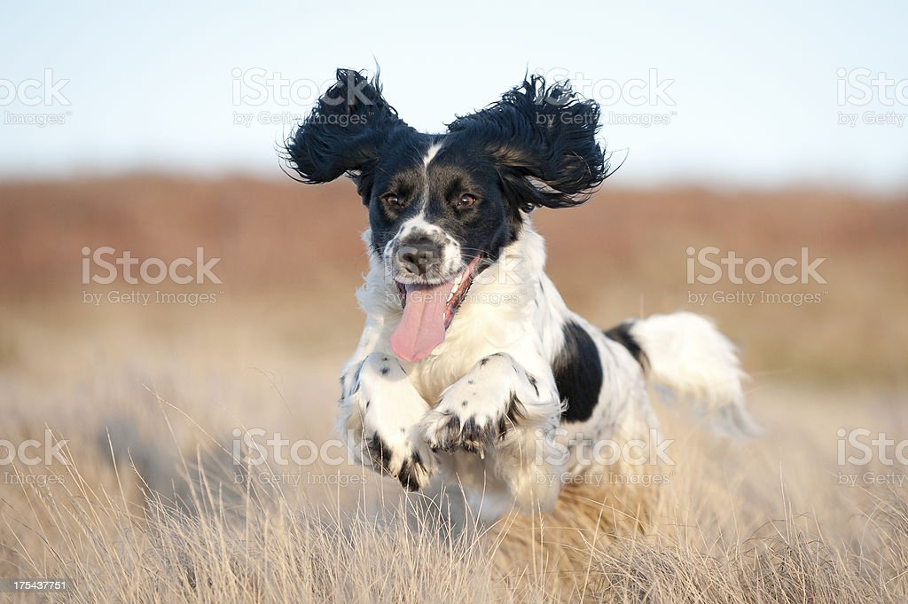Young spaniel off leash stock photo