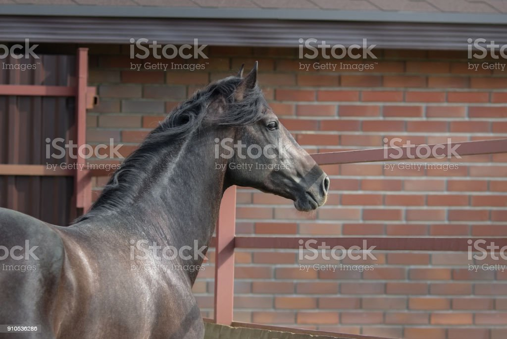Young spanish horse stands in paddock near stables. stock photo