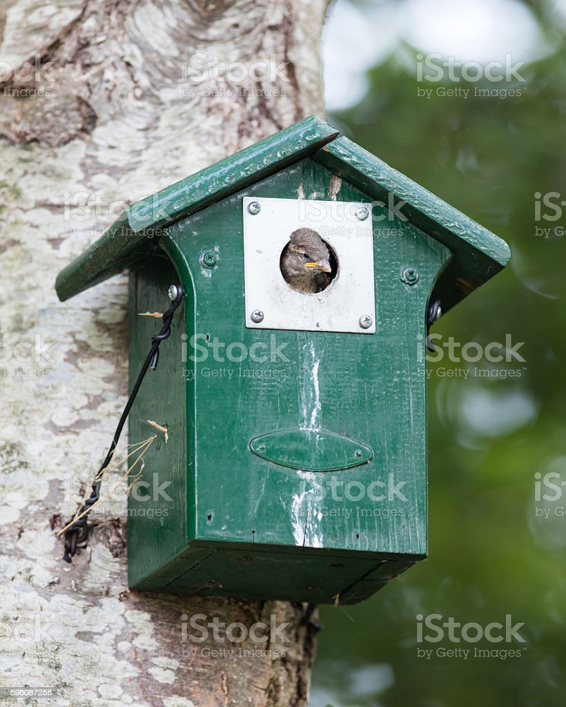 Young sparrow sitting in a birdhouse royalty-free stock photo
