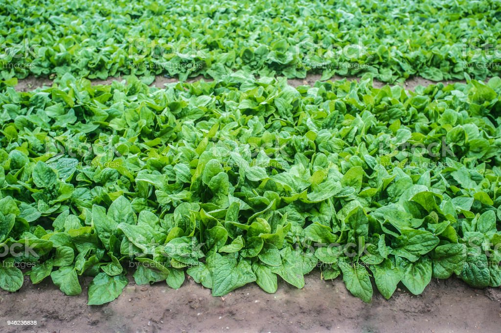 Young spinach plants at Vegas Bajas del Guadiana farmland stock photo