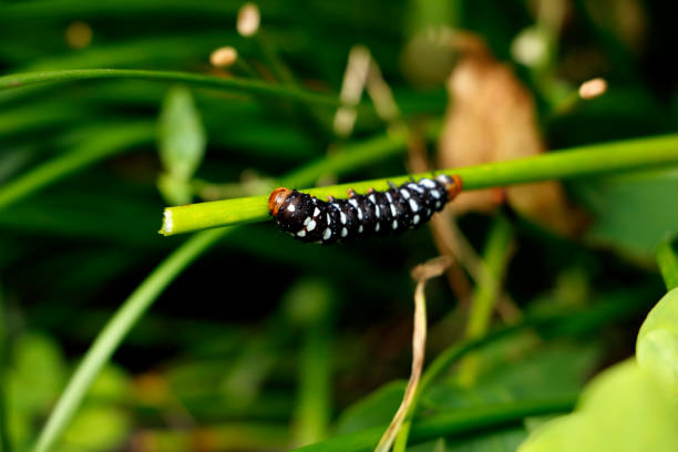 Young Spodoptera picta caterpillar Feeding on zephyranthes candida Storm Lily stock photo