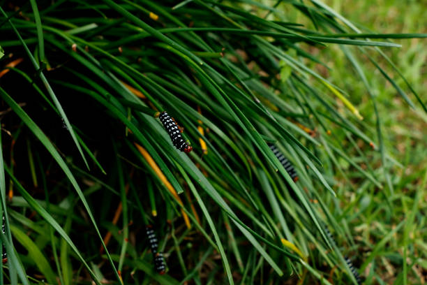 Young Spodoptera picta caterpillars Feeding on zephyranthes candida Storm Lily stock photo