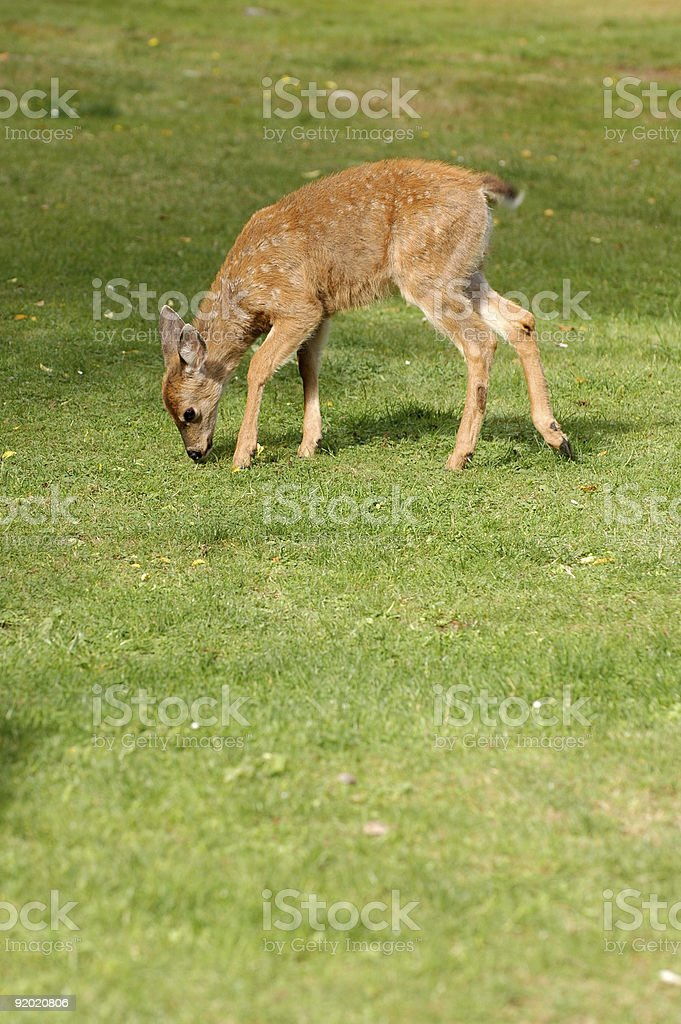 Young spotted fawn eating green grass royalty-free stock photo