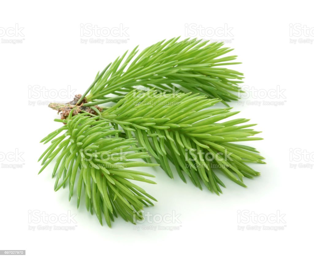 Young sprig of spruce isolated stock photo