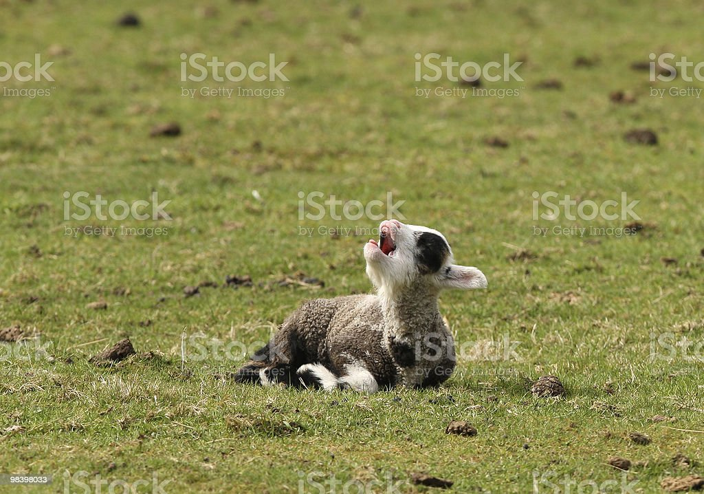 Young spring lamb royalty-free stock photo