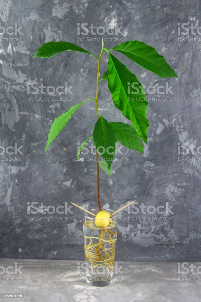 A young sprout avocado with leaves in water in a glass. Gray dark concrete background. The tree of avocado. stock photo