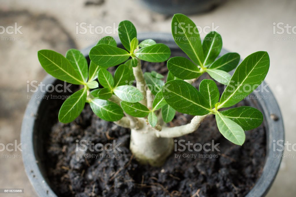 Young sprout of adenium in circle black pot stock photo