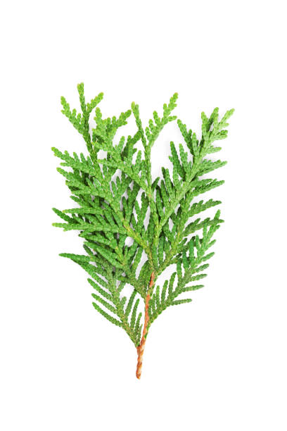 young sprout of green thuja or arborvitae isolated on white background. - cypress tree stock photos and pictures