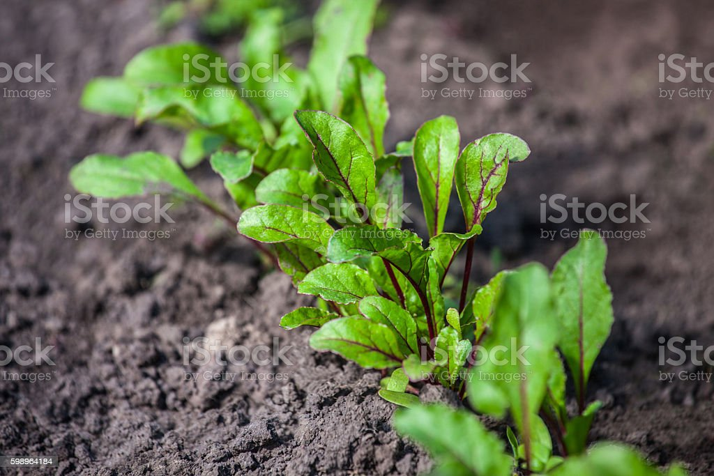 Young, sprouted beet growing in open ground. stock photo