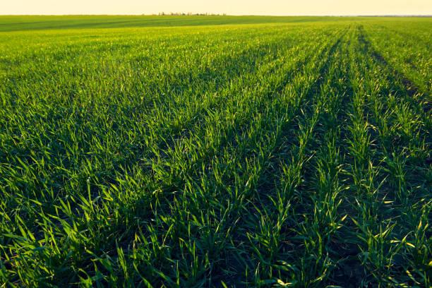 Junge Sprüche stehen auf dem Feld. Grünes Gras Nahaufnahme. – Foto