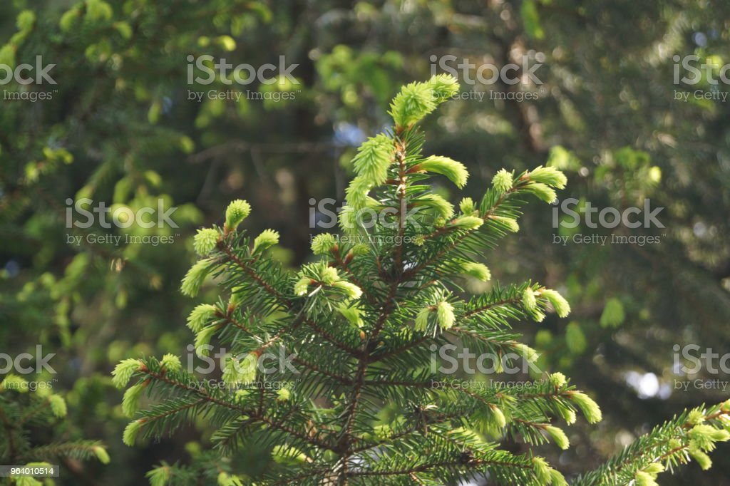 young spruce branches - Royalty-free Botany Stock Photo