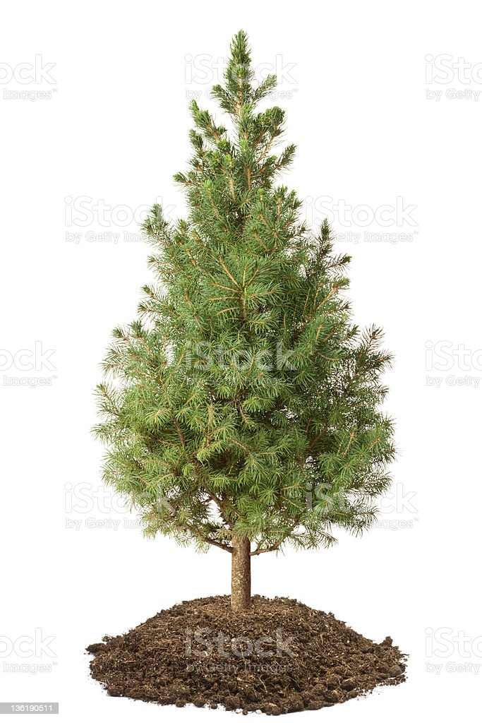 Young Spruce (Picea glauca Conica) royalty-free stock photo