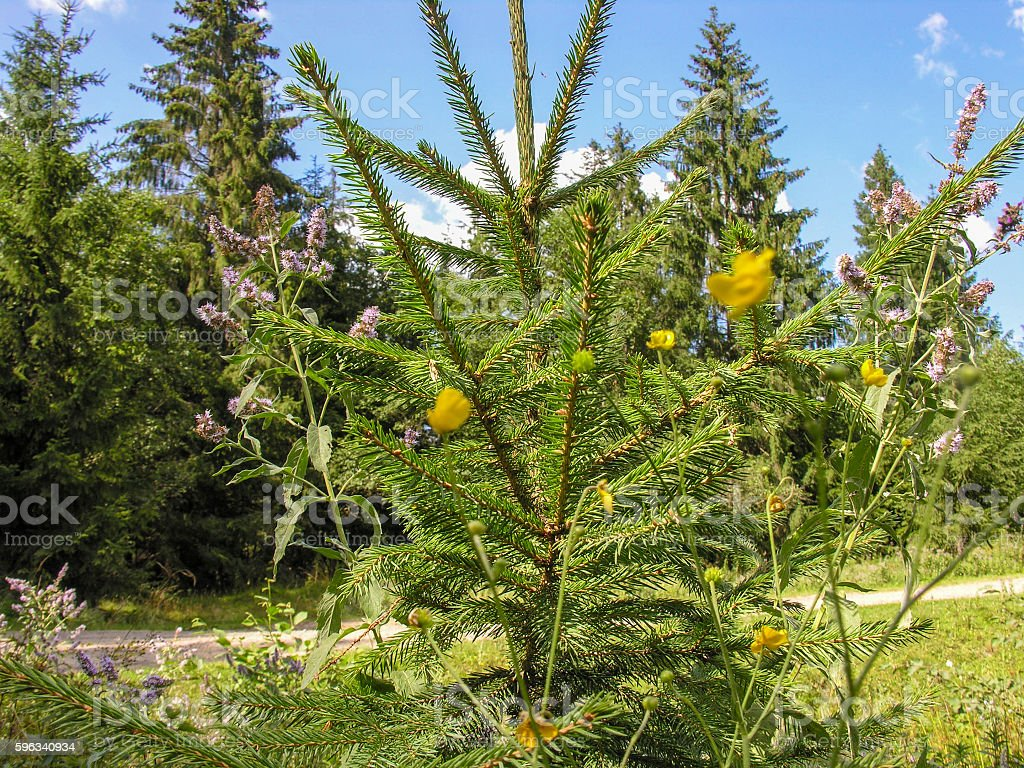 Young spruce royalty-free stock photo