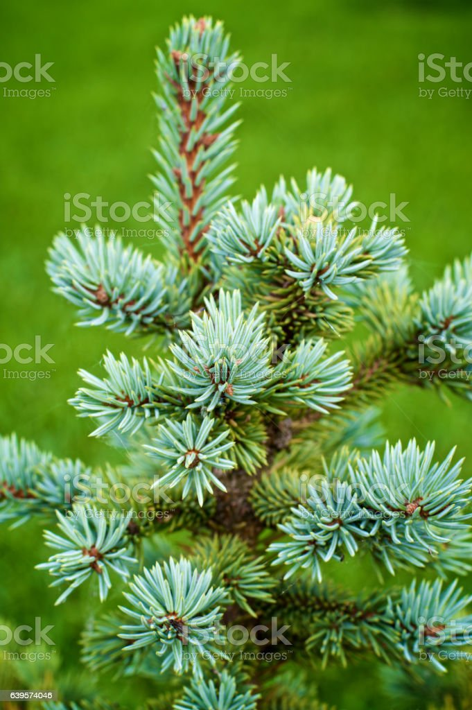 Young Spruce Shoots stock photo