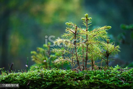 young spruce in the forest grows on old tree trunk