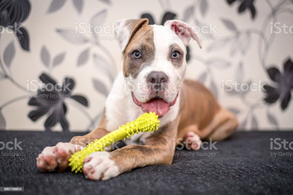 Young Staffordshire terrier puppy stock photo