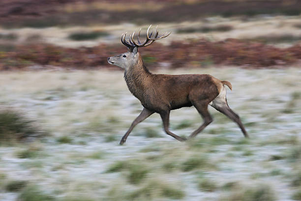 floating on air running over frosted grass red deer stag - whiteway deer stock photos and pictures