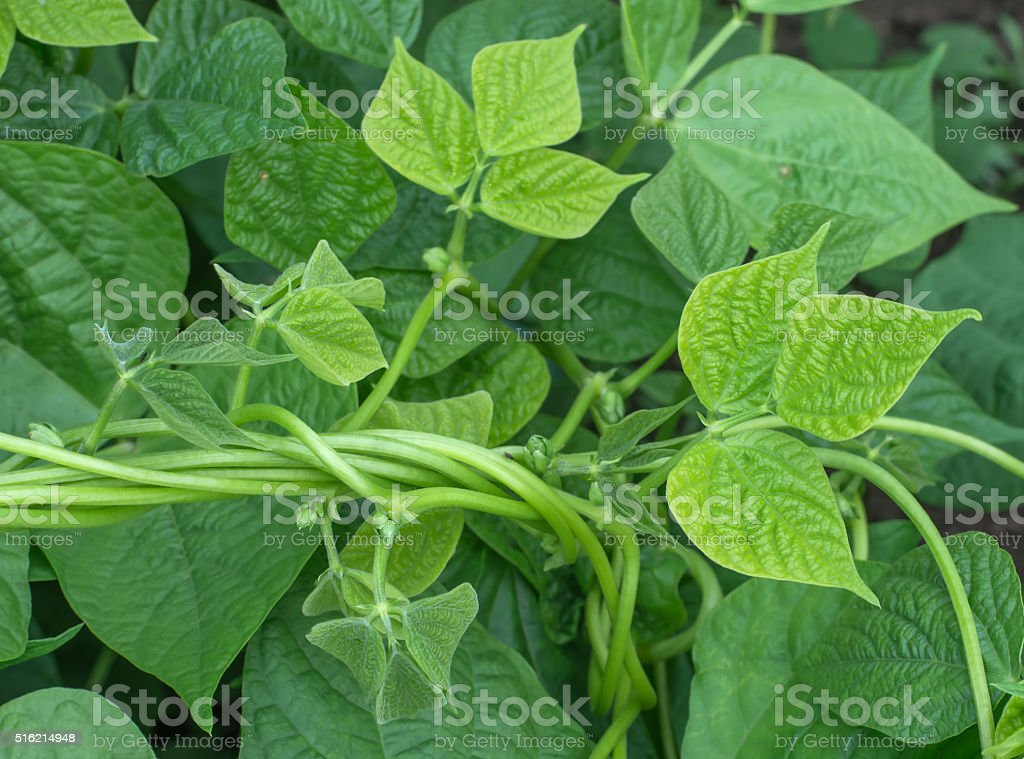 Young stalks of string bean twine in vegetable garden stock photo