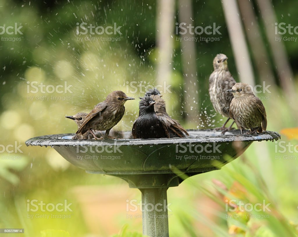 Young Starlings bathing stock photo